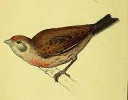 Gravures_oiseaux_Europe_1062_fringillides_-_linotte_ordinaire_ou_linot_de_vigne_-_cannabina_linotta (800x628) (2)